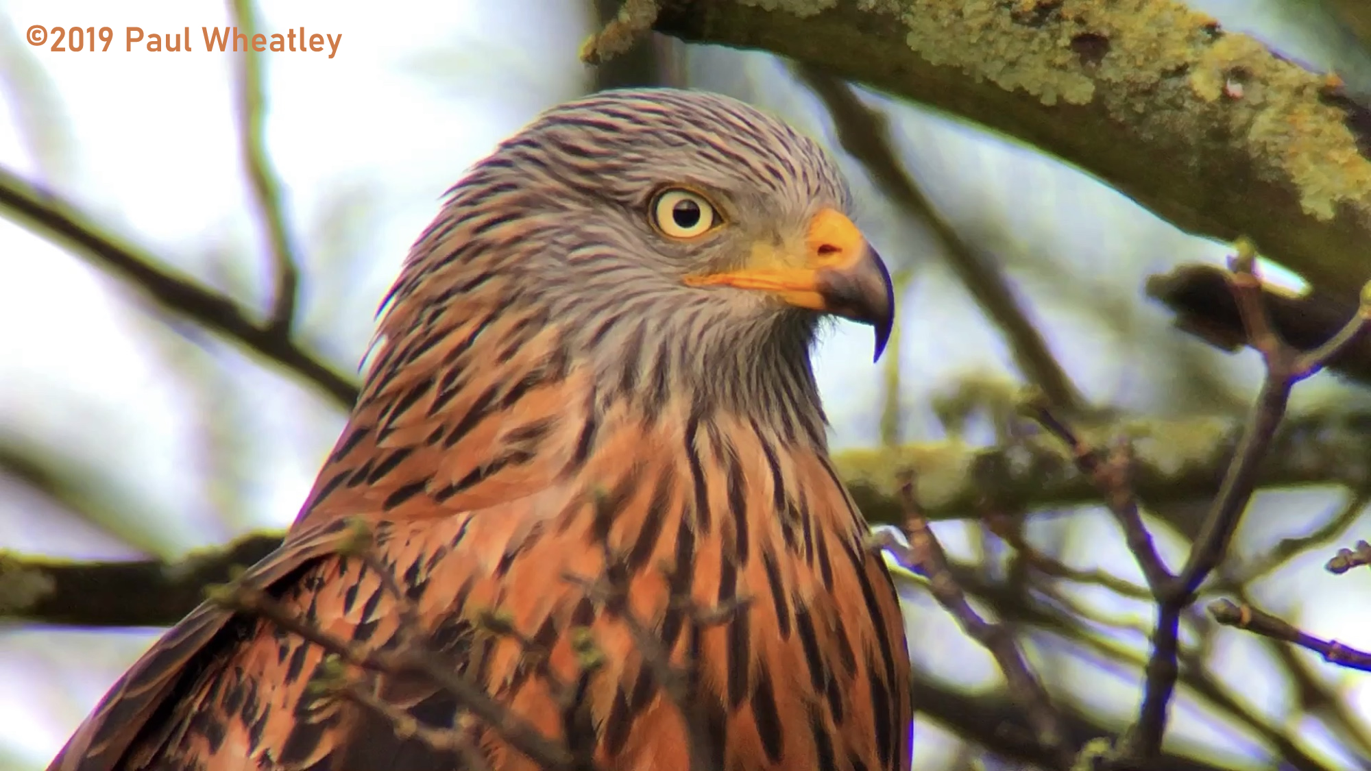 Yorkshire Red Kites2