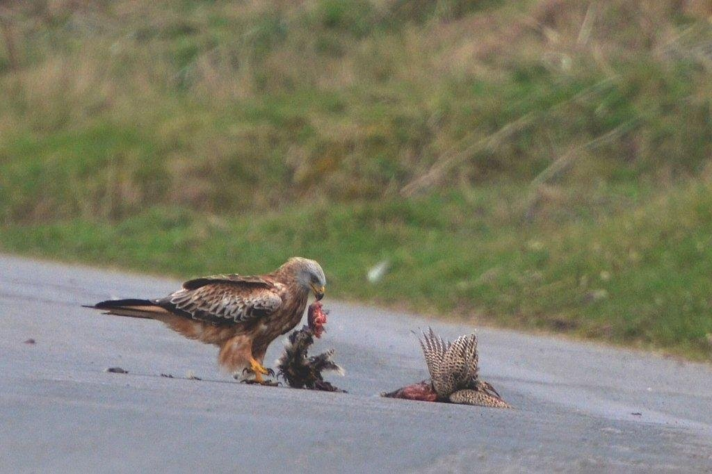 """Road Kill East Yorkshire"" by J Calam"