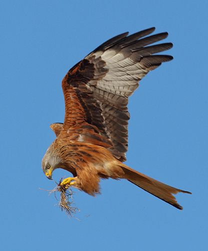 Red Kite feeding on wing Harewood Yorkshire
