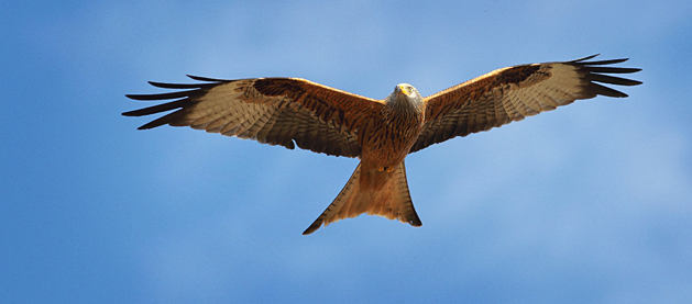 CS_Feeding_Red_Kites_Page