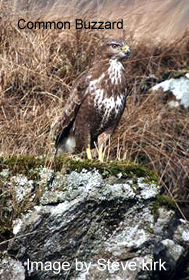 Common_Buzzard_copy