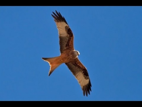 Red Kite Milvus milvus by upclosevideo